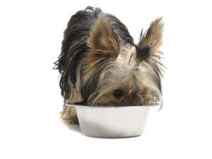 Yorkshire-Terrier-Eating-a-Meal